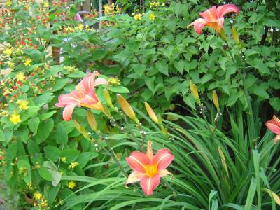 hemerocallis_neyron_rose