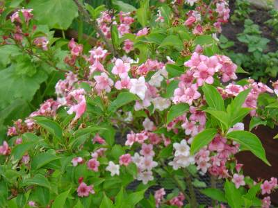 weigelia_bristol_ruby