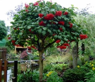 gelderse_roos